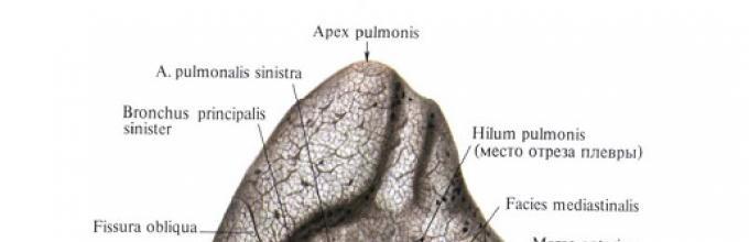Lungen sind kurze Anatomie. Gasaustausch in den Lungen und ihre ...